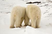 Polar bears rear end view, Wapusk National Park, Manitoba, Canada, November 2006