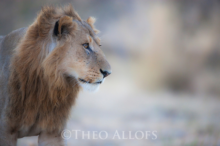 Botswana, Chobe National Park, Savuti, male lion (Panthera leo) walking, portrait, close-up