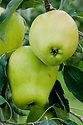 "Apple 'Lady's Finger of Lancaster', mid September. ""Introduced in 1824 in Lancashire. An attractive mid-season cooking apple, keeps its shape when cooked. Quite unusual now, though it was a common sight in Lancashire and Cumbria in the 19th century."" (R.V. Roger) ""Lady's finger"" is the name to given to apples with an elongated, oval or conical shape."