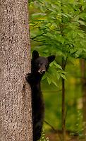 Black Bear cub peeks out from behind a tree, Orr, Minnesota.