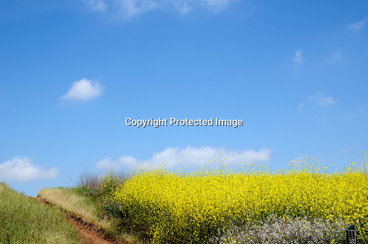 stock photo Beautiful field of Mustard Plants