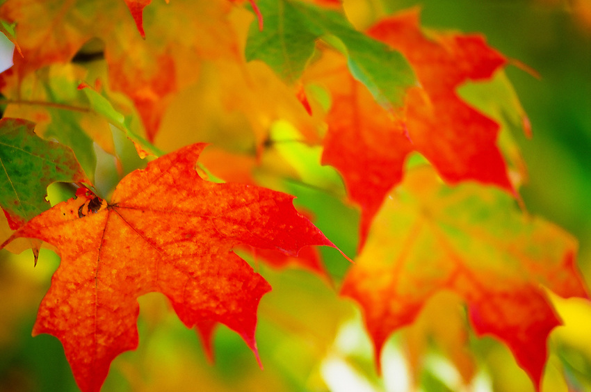 Fall Leaves in Virginia, Velvia 100 Film