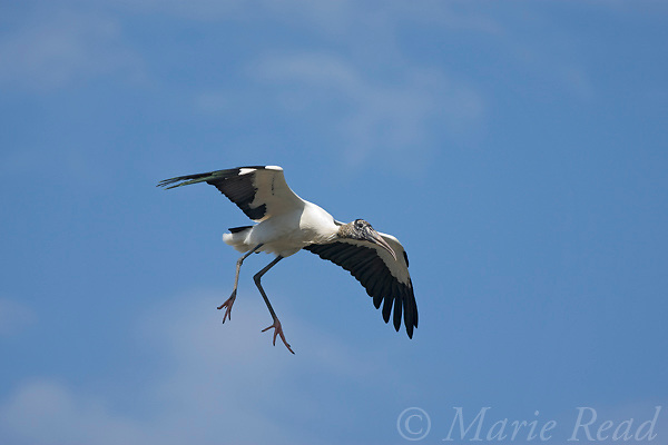 Wood Stork (Mycteria americana) in flight, coming in to land, Orlando, Florida, USA