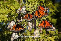 03536-05301 Monarch butterflies (Danaus plexippus) roosting in Eastern Red Cedar tree (Juniperus virginiana),  Prairie Ridge State Natural Area, Marion Co., IL