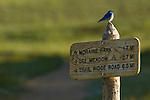 Mountain bluebird, Sialia currucoides, female, trail sign, Upper Beaver Meadows, spring, bird, nature, wildlife, Rocky Mountain National Park, Colorado, Rocky Mountains, USA