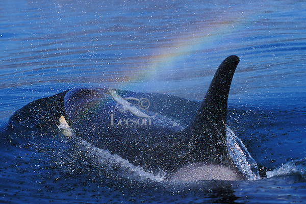 Orca whale (Orcinus orca) with rainbow created in spray as it surfaces and exhales (blows).  Pacific Northwest.