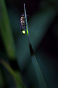 Firefly male {Lampyrinae} glowing on grass stem at night. Nordtirol, Austrian Alps, Austria, July.