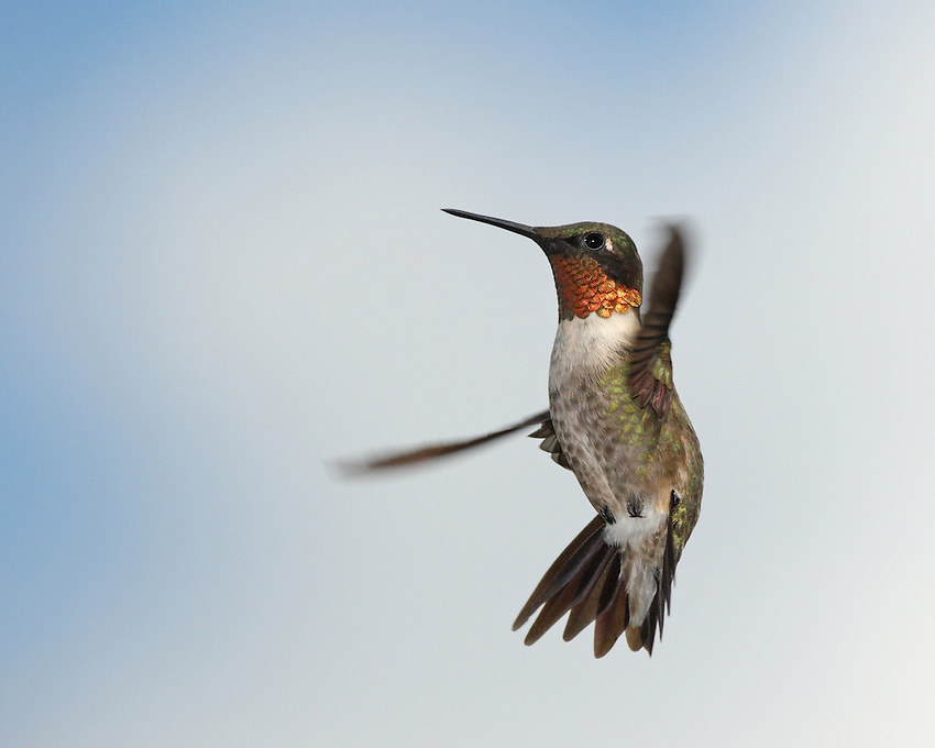 A flash of green and red, the Ruby-throated Hummingbird is eastern North America's sole breeding hummingbird.Photographer's Forum Magazine finalist, in hardcover.