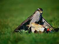 Habicht, schlägt Fasan, Beute, Accipiter gentilis, northern goshawk, goshawk, L'Autour des palombes. Beizvogel, Falknerei