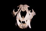 Jaguar (Panthera onca) male skull, Jujuy, Argentina