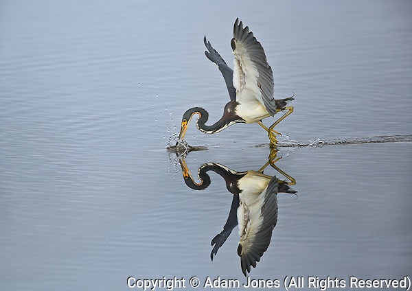 Tri color Heron fishing, Ding Darling National Wildlife Refuge, Florida