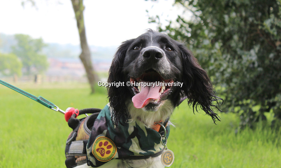 BNPS.co.uk (01202 558833)<br /> Pic:   HartpuryUniversity/BNPS<br /> <br /> A resourceful sniffer dog is being specially trained to detect hedgehogs - in a bid to save their dwlinding population.<br /> <br /> Henry the springer spaniel locates the prickly creatures so they can be moved out of harm's way ahead of land development projects.<br /> <br /> When he finds one, he quietly sits next to it so his handler can come and investigate, earning a game of fetch as a reward.<br /> <br /> With his remarkable sense of smell, which is 100,000 times more sensitive than a human's, he can detect a hedgehog hidden in a bush 250 yards away.<br /> <br /> The research project, the first to its type, is being overseen by Lucy Bearman-Brown, senior lecturer in Animal Science at Hartpury University