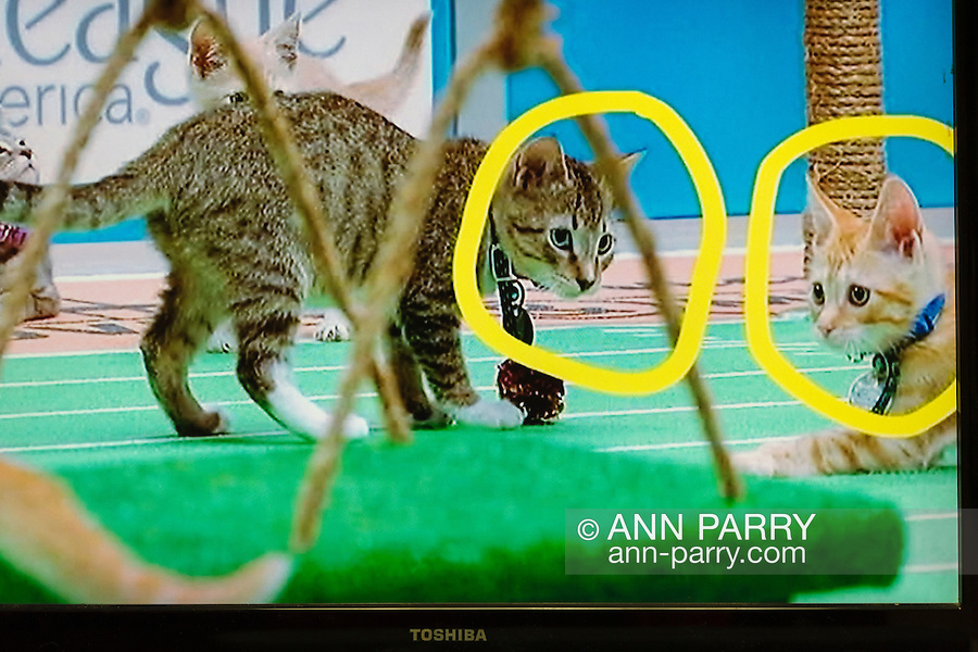Wantagh, New York, USA. February 5, 2017. During Hallmark Channel's Kitten Bowl IV television show, with two kitten players circled in yellow for ID, Last Hope Animal Rescue has Open House Party. On screen at left, Kitten in its Last Hope Lions (purple collar) team is playing against kitten in North Shore Bengals (blue collar) team. Last Hope kittens have been part of each Kitten Bowl, and its purpose is to promote cat and kitten adoptions.