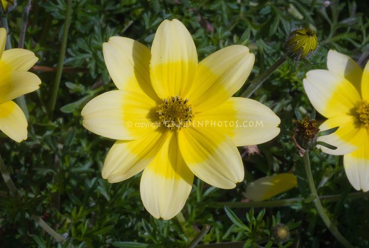 Bidens ferulifolia Golden Eye T&M bicolour with fragrant flowers