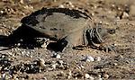 A large turtle makes it way back to the water. (DOUG WOJCIK MEDIA)