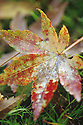 Leaf of Japanese Maple fallen on lawn during rain.
