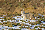A coyote hunting in Yellowstone National Park, Wyoming.