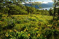 Columbia River & wildflowers, Oregon