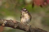 Female ROSE-BREASTED GROSBEAK (Pheucticus ludovicianus).  Spring.