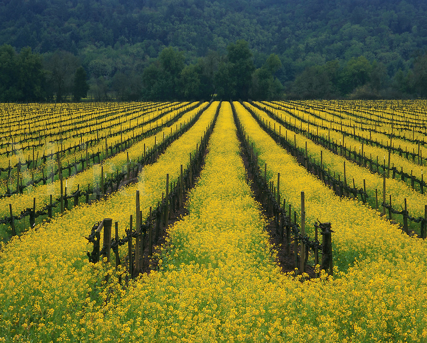 Agricultural landscape of a vineyard in spring. Sonoma, California.