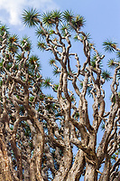 Canary Islands dragon tree, or drago, Dracaena draco, Icod de los Vinos, Santa Cruz de Tenerife, Tenerife, Canary Islands, Spain