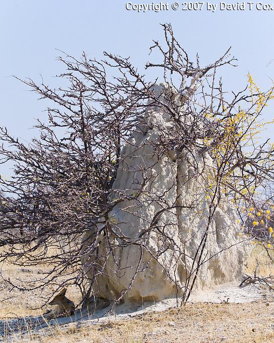Black-backed Jackel under termite mound, on Fishers Pan, Etosha NP, Namibia