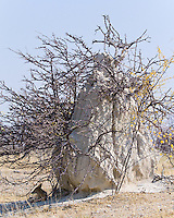 Black-backed Jackel under termite mound, on Fishers Pan, Etosha NP, Namibia