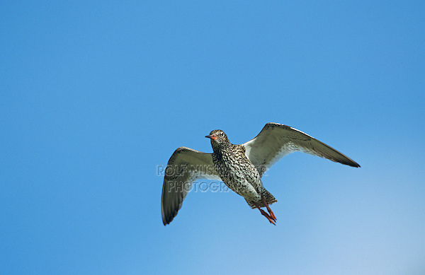 Common Redshank, Tringa totanus, adult in flight, Nesseby, Norway, June 2001