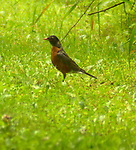 Robin seen in the Esopus Bend Nature Preserve in Saugerties, NY, on Saturday, July 22, 2017. Photo by Jim Peppler. Copyright/Jim Peppler-2017.