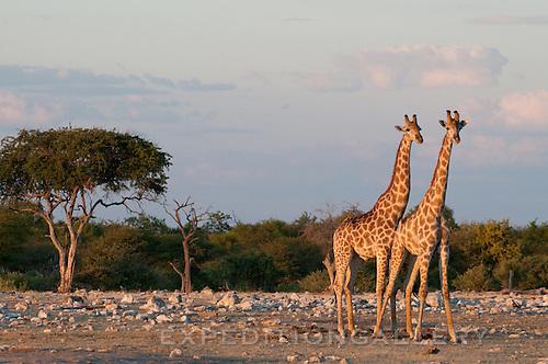 Giraffe, Etosha National Park, Namibia.