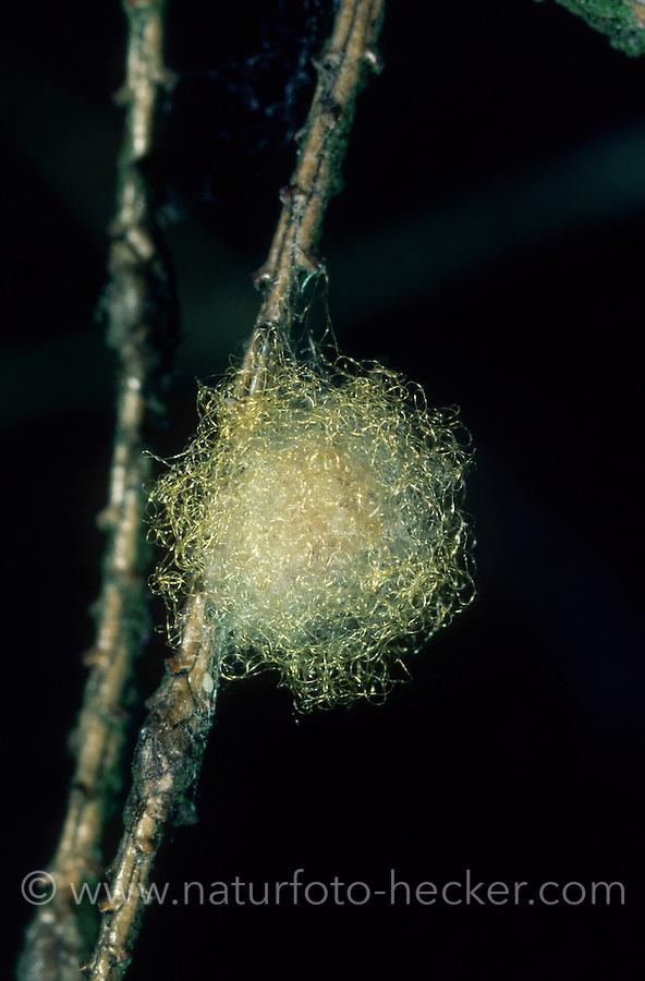 Konusspinne, Konus-Spinne, Konische Kreisspinne, Eikokon, Eier, Kokon, Cyclosa conica, Trashline Orbweaver. Spinne des Jahres 2016