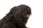 Black Russian Terrier Dog, Head Study, Studio, White Background