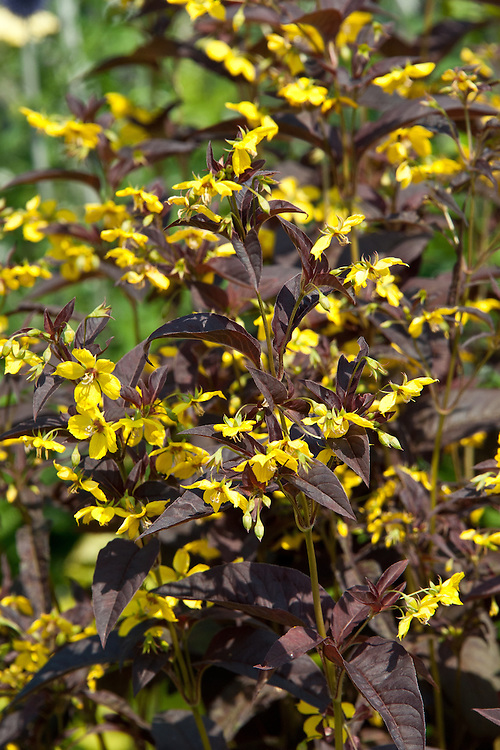 Lysimachia ciliata 'Firecracker', early July. A herbaceous perennial also known as loosestrife 'Firecracker', Lysimachia ciliata 'Purpurea' , or Lysimachia ephemerum 'Firecracker'.