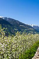 Italy, South Tyrol (Trentino - Alto Adige), Val Venosta, near Castelbello-Ciardes: Apple blossom and Ortler Alps   Italien, Suedtirol (Trentino - Alto Adige), Vischgau, bei Kastelbell-Tschars: Apfelbluete, und Auslaeufer der Ortler-Alpen