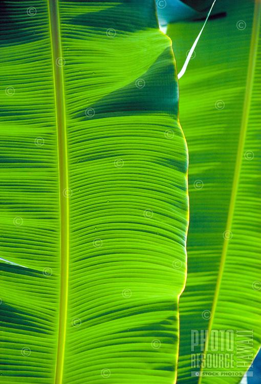 Close-up of vibrant green banana leaves.