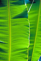 Close-up of vibrant green banana leaves.