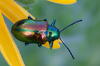 Dogbane Beetle; Chrysochus auratus; on Black-eyed Susan; Rudbeckia hirta;  PA, Philadelphia; Wissahickon Park, Houston Meadow;
