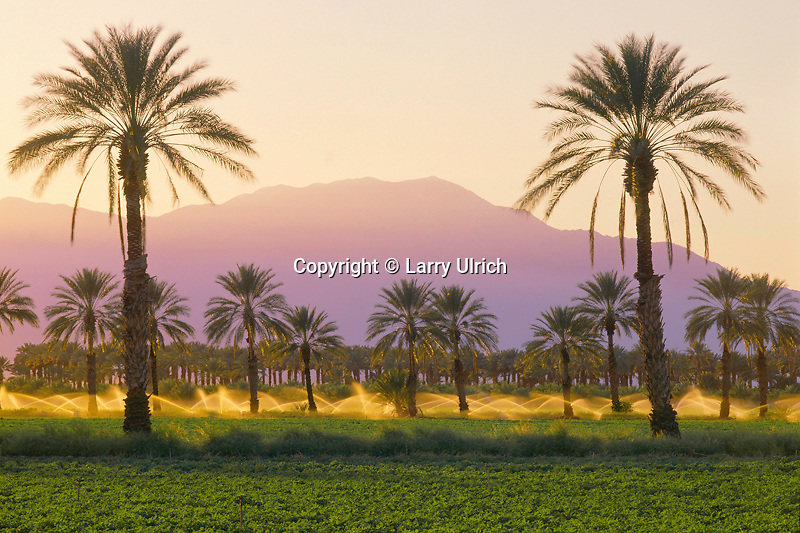 Date palms <br />