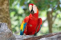 scarlet macaw, Ara macao, adult, in a tree, Roatan, Honduras, Central America