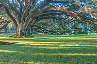 The Oak Alley live oaks are over 300 years old and were here before the plantation and mansion even existed.  No one knows who planted these oaks trees but they seem to know exacty where they thought the house should be place because they are perfect.  The old mansion was place just right for a view through the trees looing west toward the Mississippi river and looking east so that you had a path each way through the trees. This was a working sugar plantation which was manned by slavery as was the case during this era in the deep south.  The slave live on the property on the other side in their own housing area while their home  may have mulitple familes living under the same roof in crowed conditions.  The historical property is beaufiful today and has been well maintained and these oak are what drew us there. These are big and beautiful live oak trees on very nice grounds some refer to this area as oak valley or seven oaks.
