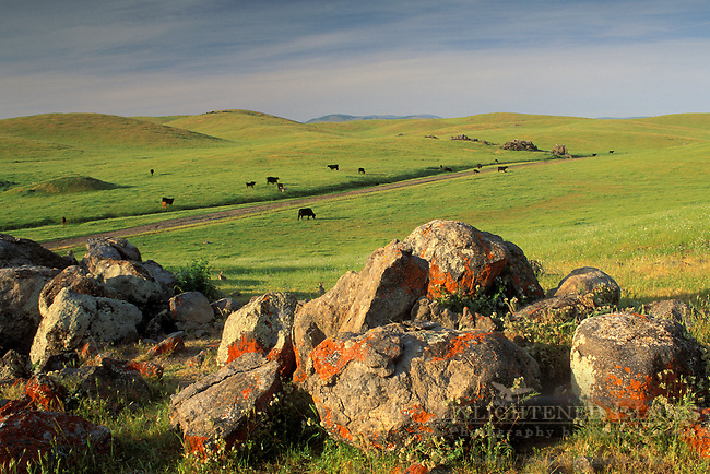 Lichen on rock boulders and cows in rolling green grass hills in spring ranch pasture, Sierra Foothills, Mariposa, California