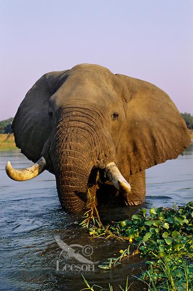 African Elephant bull feeding. (Loxodonta Africana) Africa