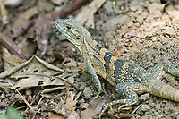 Ctenosaur, Costa Rica, Central America
