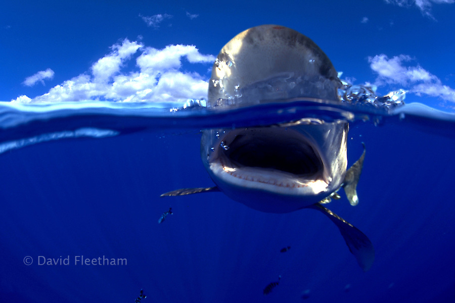 This split image of an oceanic whitetip shark, Carcharhinus longimanus, was taken several miles off the Big Island in open ocean.  Hawaii.  The sky in the image was changed with a computer. Digital Composite.