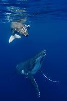 Kingdom of Tonga, Vava'u, Humpback whale (Megaptera novaeangliae) mother and calf underwater