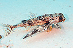 Dactylopterus volitans, Flying gurnard, Cozumel, Mexico