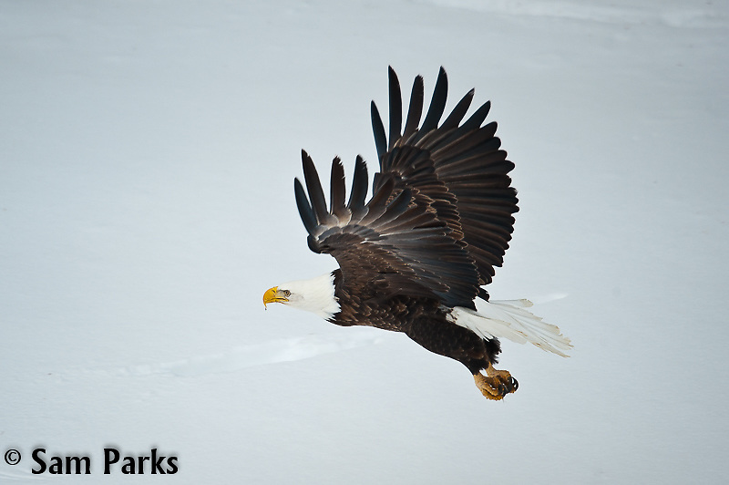 Bald eagle in flight during winter. Yellowstone National Park, Wyoming.