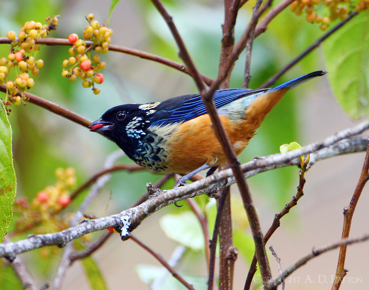 Spangle-cheeked tanager