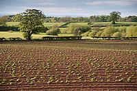 Potato field in spring showing plants growing through ridges, Wetheral, Cumbria.....Copyright..John Eveson,.Dinkling Green Farm,.Whitewell,.Clitheroe,.Lancashire..BB7 3BN.Tel. 01995 61280.Mobile 07973 482705.j.r.eveson@btinternet.com.www.johneveson.com