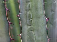 "1201-0803  Details of Thorns on Variegated Juamave Fiber Plant ""Marginata"", Agave funkiana © David Kuhn/Dwight Kuhn Photography"